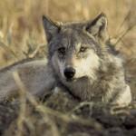 Wolf im Wallis zum Abschuß freigegeben