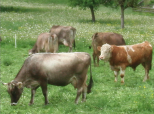 Kühe mit Stier auf der Weide: Gegenwärtig läuft die Anhörung zur Revision der Tierschutzgesetzverordnung