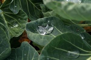 Rosenkohl: Ein leckeres Wintergemüse, das zur Herbstzeit und zu Wildgerichten hervorragend paßt.