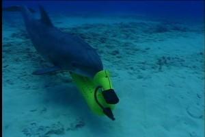 Archivfoto: Delfin bei der Minensuche