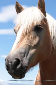 nationales Pferdefestival Equus helveticus