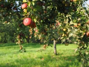 Feldversuch geplant mit cisgenen Apfelbäumen, die gegen Feuerbrand resistent sind. (Symbolbild)