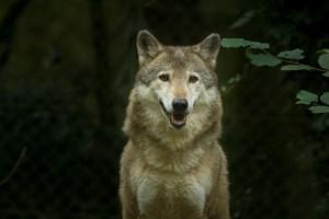 Wolf und Luchs: Konzepte revidiert. (Symbolbild)
