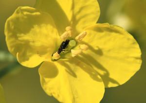 Rapsglanzkäfer frisst Pollen auf einer Rapsblüte, verkürzt dadurch ihre Blühdauer und die Wahrscheinlichkeit, bestäubt zu werden (Foto: Agroscope, Matthias Tschumi).