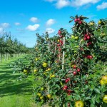 Feldversuch mit cisgenen Apfelbäumen bewilligt