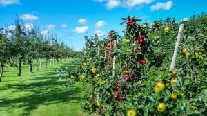 Der Feldversuch über Nutzen und Risiken von gentechnisch veränderten Apfelbäumen auf der Protected Site kann starten. (Symbolbild)