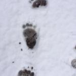 Bär von Graubünden jetzt in Bern: 40 Km an einem Tag