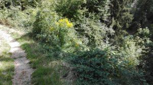 Vergandung im Domleschg: Das Gebiet in Cazis (nahe Schauenberg / Savusch) ist vor wenigen Jahren noch eine Schafweide gewesen. Heute wachsen meterhoch Brombeeren)